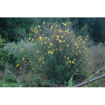 Helianthus heterophyllus
