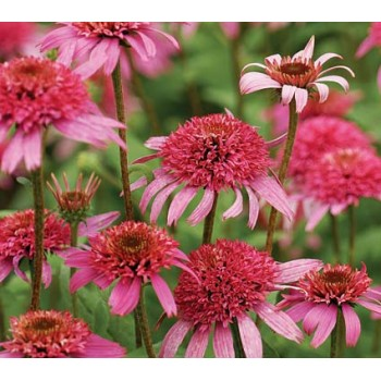Echinacea 'Pink double'...