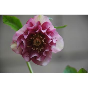 Helleborus orientale 'rose...