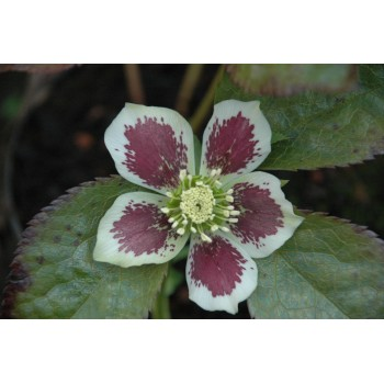 Helleborus orientale 'White...