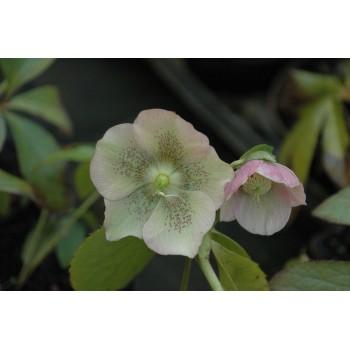 Helleborus orientale 'Pink...