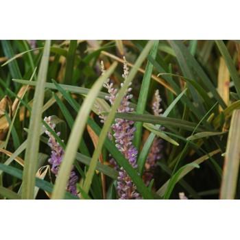 Liriope muscari 'Evergreen...