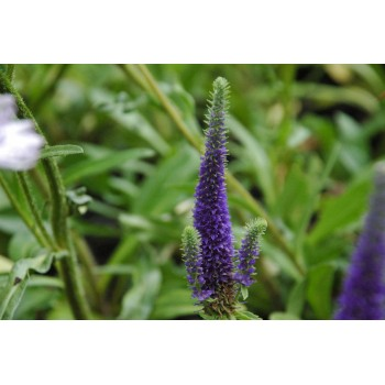 Veronica spicata 'Royal...