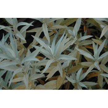 Artemisia ludoviciana...