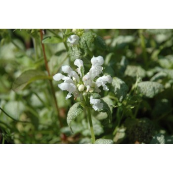 Lamium maculatum 'white...