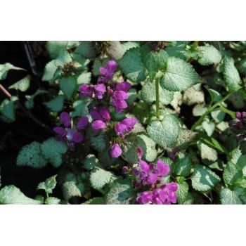 Lamium maculatum 'Beacon...