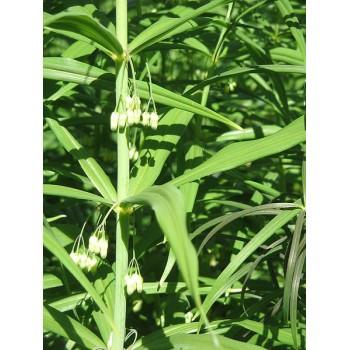 Polygonatum verticilata...