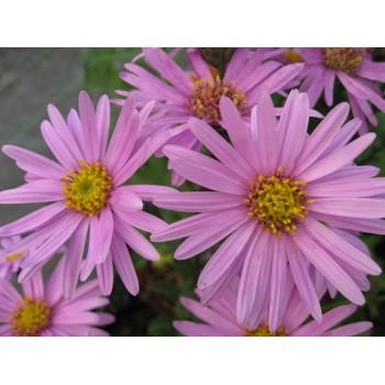 Aster amellus 'Pink Zenith'...