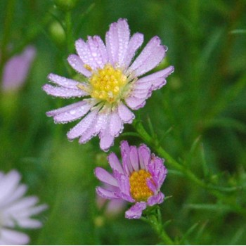 Aster ericoides rose type