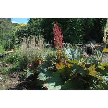 Rheum palmatum 'Tanguticum'...