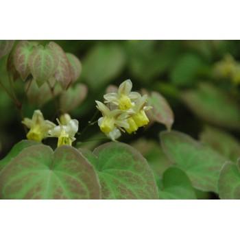 Epimedium versicolor...