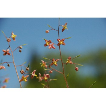 Epimedium pubigerum...