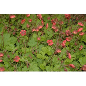 Geum rivale 'Flame of...
