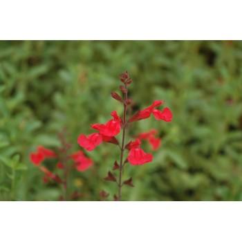 Salvia flammen (sauge...