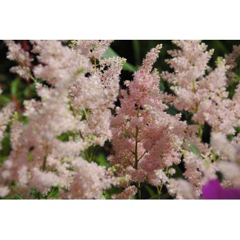 Astilbe japonica 'Peach...