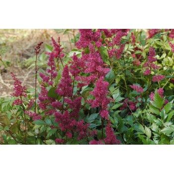 Astilbe arendsii 'Fanal'