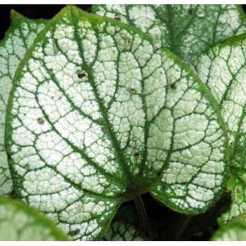 Brunnera macrophylla 'Jack...