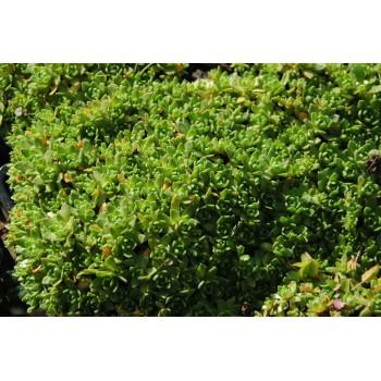 Crassulia sedifolia