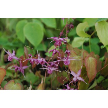 Epimedium grandiflorum...
