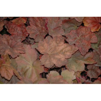 Heuchera 'Autumn Leaves' r