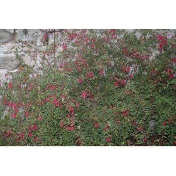 Fuchsia magellanica...