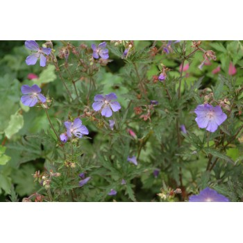 Geranium sylvaticum 'May...