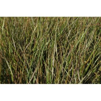 Calamagrostis acutifolia...