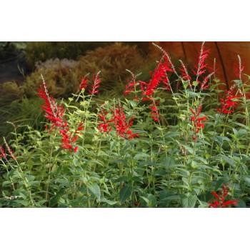 Salvia ellegans (Sauge ananas)