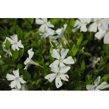 Vinca minor 'Alba' (pervenche)