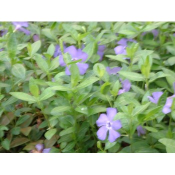 Vinca minor 'Bowles...