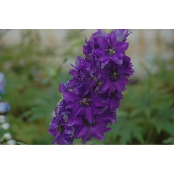 delphinium pacific 'Black...