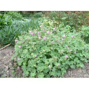 Geranium Cantabriense...