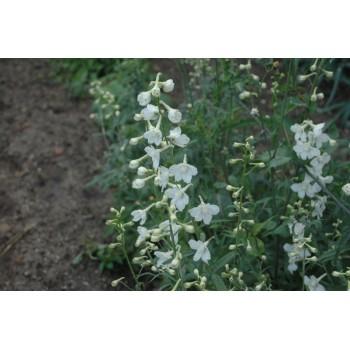 Delphinium belladona blanc