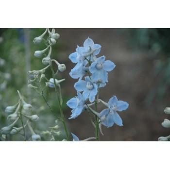 delphinium belladona bleu