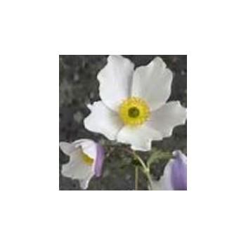 Anemone 'Elfin Swan'