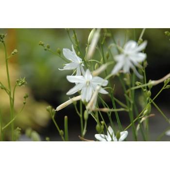 Chlorophytum saundersiae...