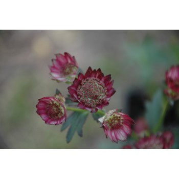 Astrantia major 'Moulin...