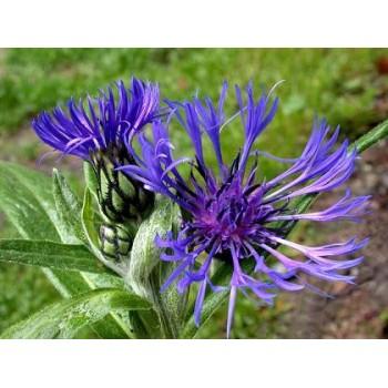 Centaurea montana (bleuet)