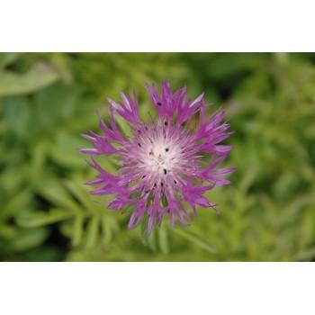 Centaurea dealbata...