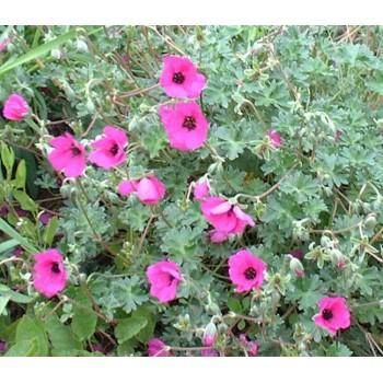 Geranium cinereum...