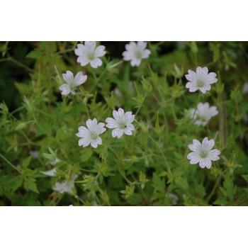 Geranium Oxonianum...