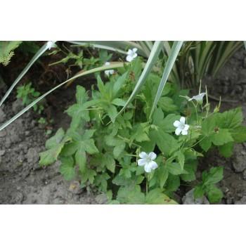 Geranium Nodosum 'Silverwood'