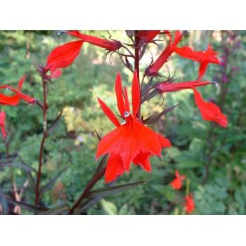 Lobelia carnidalis
